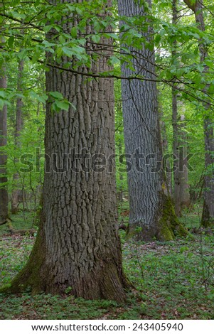 Monumental oaks in springtime deciduous stand of Bialowieza Forest - stock photo