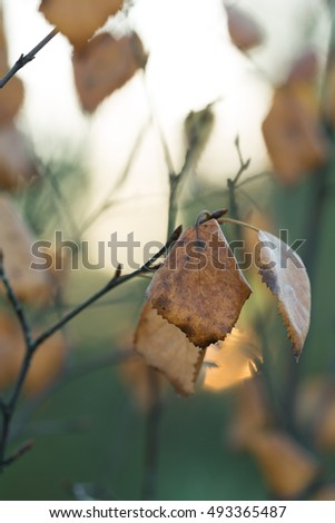 Moody photo of brown birch leafs in autumn