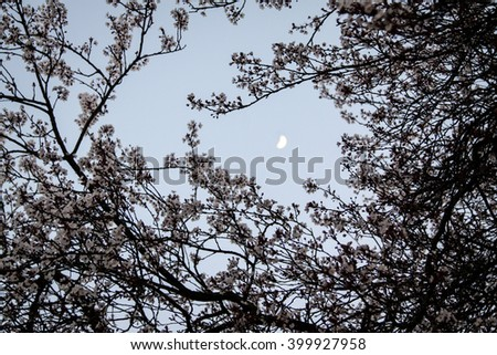 Moon in-between cherryblossoms - stock photo
