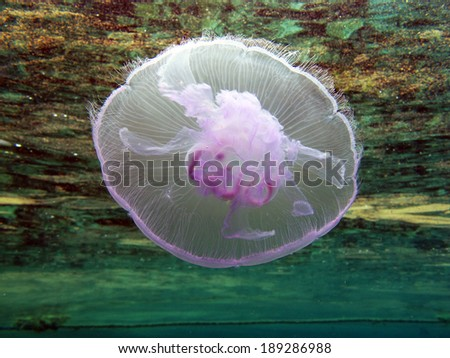 Moon jellyfish (Aurelia aurita, schyphozoa) - stock photo