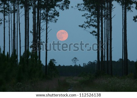 moonrise and pine forest
