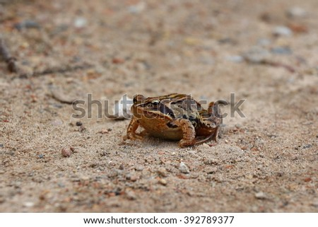 Moor frog in fall