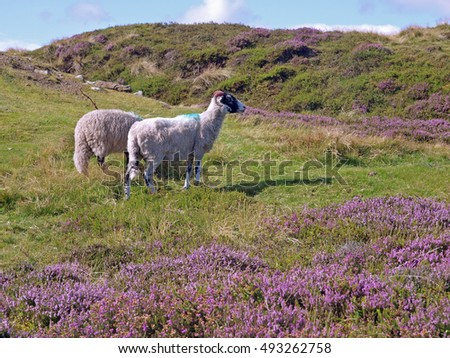Moor sheep amid flowering heather above Rosedale in the North York Moors National Park, North Yorkshire, England