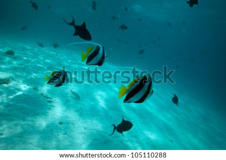Moorish idol fishes swimming between corals - stock photo