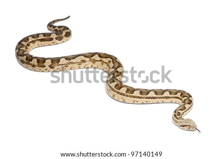Moorish viper  - Macrovipera mauritanica, poisonous, white background