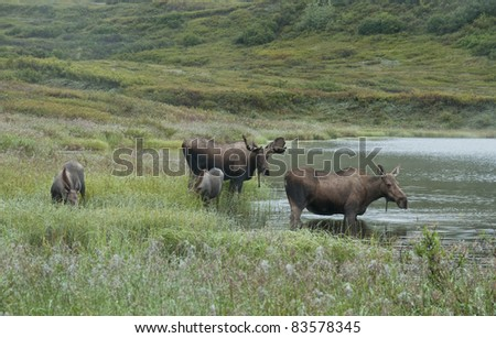 Moose (Alces alces) Bull, cow and first year calves feeding in and around a pond in Denali National Park, Alaska.