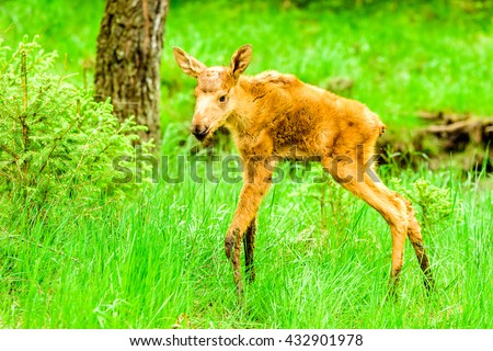 Moose (Alces alces), here a two day old calf with mud on its lower parts of the legs. It is standing in green grass with trees in the background. Adorable little creature. - stock photo