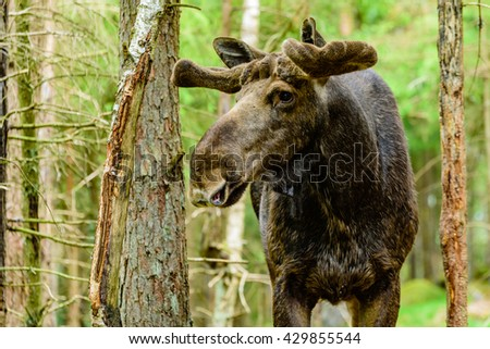 Moose (Alces alces), here an adult bull with fresh growing antlers under the soft velvet is standing in the forest. - stock photo