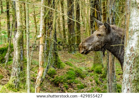 Moose (Alces alces), here an adult cow is showing her head from behind some trees. Copy space in front of her.