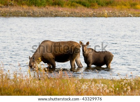 Moose and Calf in Alaska