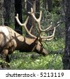 Moose Antlers in Woods Alberta Canada - stock photo