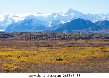 moose at denali national park with mountain background  - stock photo