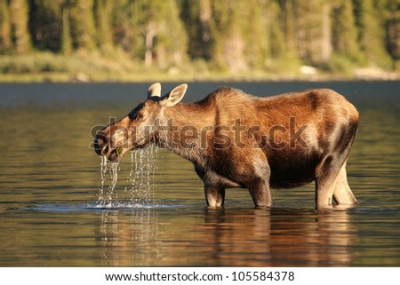 Moose at sunset at Swiftcurrent lake in Glacier National Park. Montana - stock photo