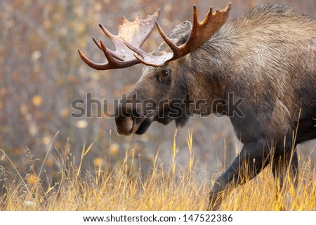 Moose Bull, Alaska, USA