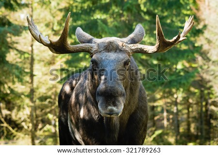 Moose bull (Alces alces) look straight at you with mean eyes. He is truly the king in this forest and will not take lightly on trespassers.