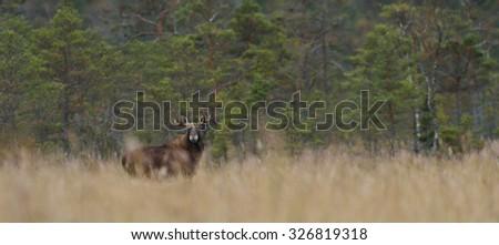 Moose bull in the bog - stock photo