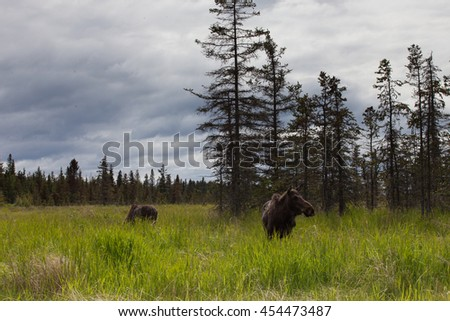 Moose close encounter in Alaska. Two moose in a field