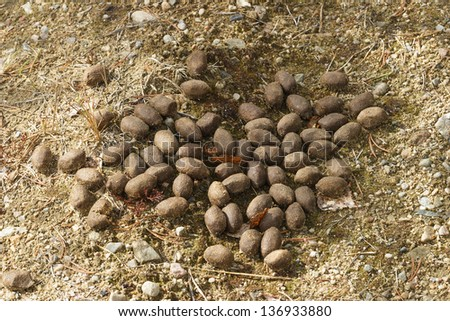 Moose droppings in the woods - stock photo