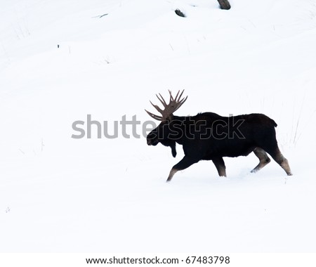 Moose during winter in Yellowstone - stock photo