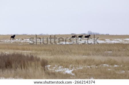 Moose in a field in winter in Saskatchewan Canada - stock photo