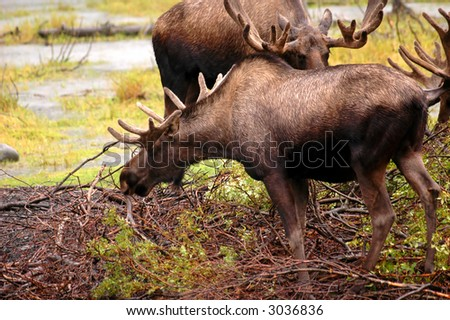 Moose in Alaska - stock photo