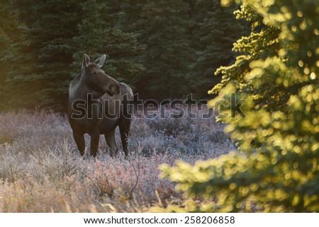 moose in Denali National Park , Fall  - stock photo