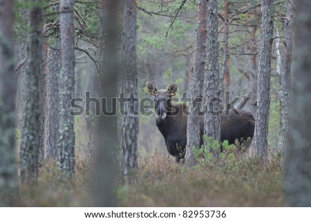 Moose in forest - stock photo