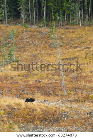 Moose in the mountains in Kananaskis Country Alberta Canada - stock photo