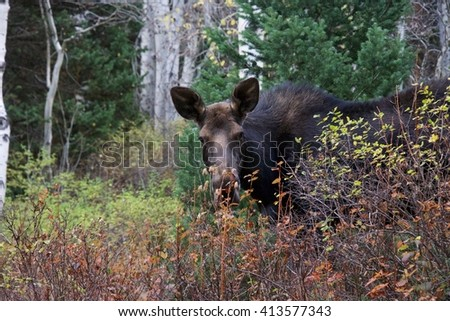 Moose In The Rocky Mountains