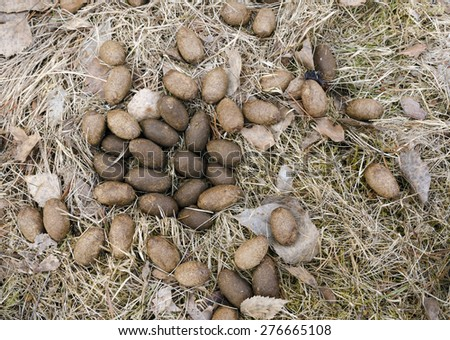 Moose poop from a adult,typically from a wintering animal picture from the North of Sweden.   - stock photo