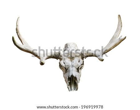 Moose skull with antlers on white background,isolated - stock photo