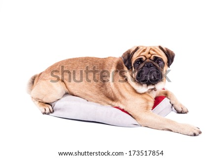 Mops pug isolated on white