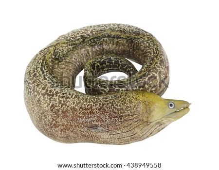 Moray eel fish isolated on white background - stock photo