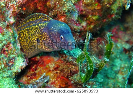 Moray eel in the coral reef wall. Sea animal looking into the camera. Scuba diving with ocean wildlife.