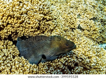 Moray eel is on coral reef, Maldives, The Indian Ocean - stock photo