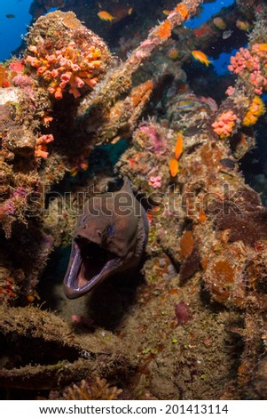 Moray eel on a wreck dive in maldives - stock photo