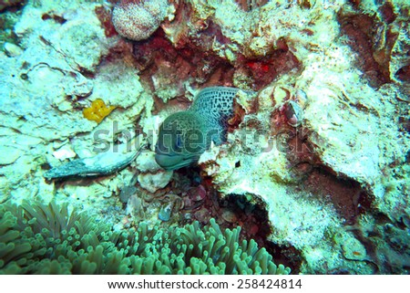 moray eel on the coral reef in Phuket,Thailand - stock photo