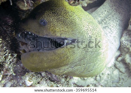 Moray Eel protecting its habitat, a hole inside a coral reef