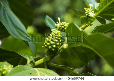 Morinda is a genus of flowering plants in the madder family, Noni fruit on tree in organic farm - stock photo
