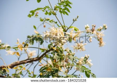 Moringa oleifera - stock photo