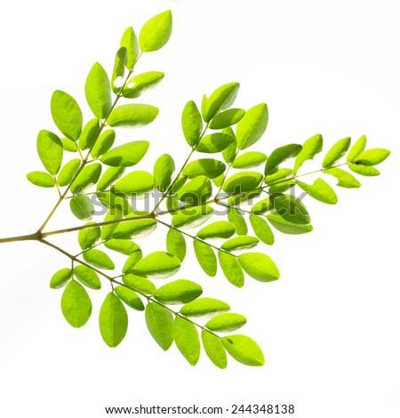 Moringa oleifera leaves isolated on white background - stock photo