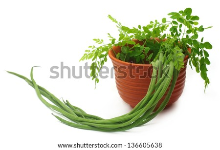 Moringa Oleifera or sonjna with fresh leaves on a clay pot - stock photo