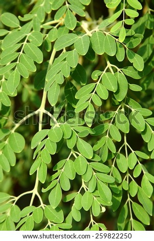 Moringa oleifera, (the tree of life)..It is commonly said that Moringa leaves contain more Vitamin A than carrots, more calcium than milk, more iron than spinach, - stock photo