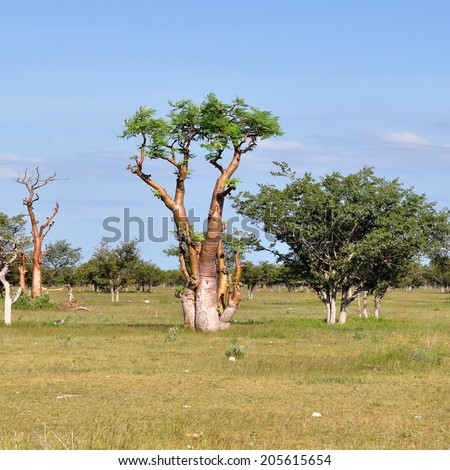 moringa tree in Etosha national park - stock photo