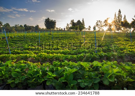 Morning at beautiful strawberries farm. - stock photo