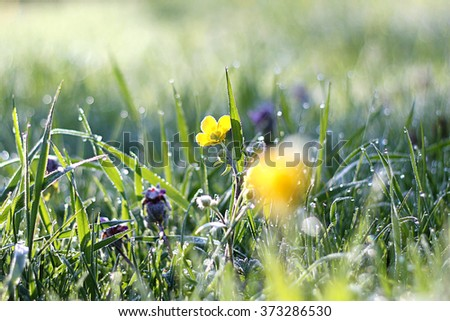 Morning dew on grass with yellow flower, beautiful nature background with shallow depth of field - stock photo