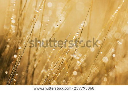 Morning dew on the wheat  - stock photo