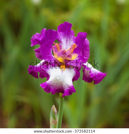 morning flower iris park natural  blurred background shallow depth-of-field   - stock photo
