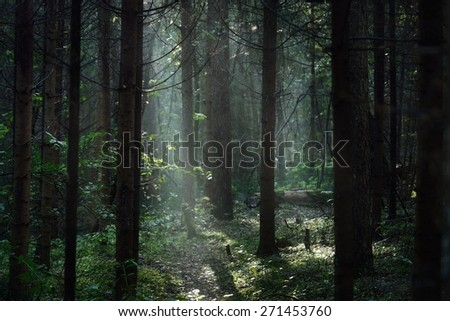 Morning fog in a dark and mystical forest in Latvia