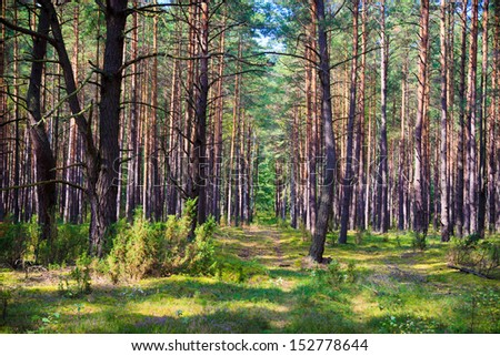 Morning forest in the Biebrza reserve - stock photo